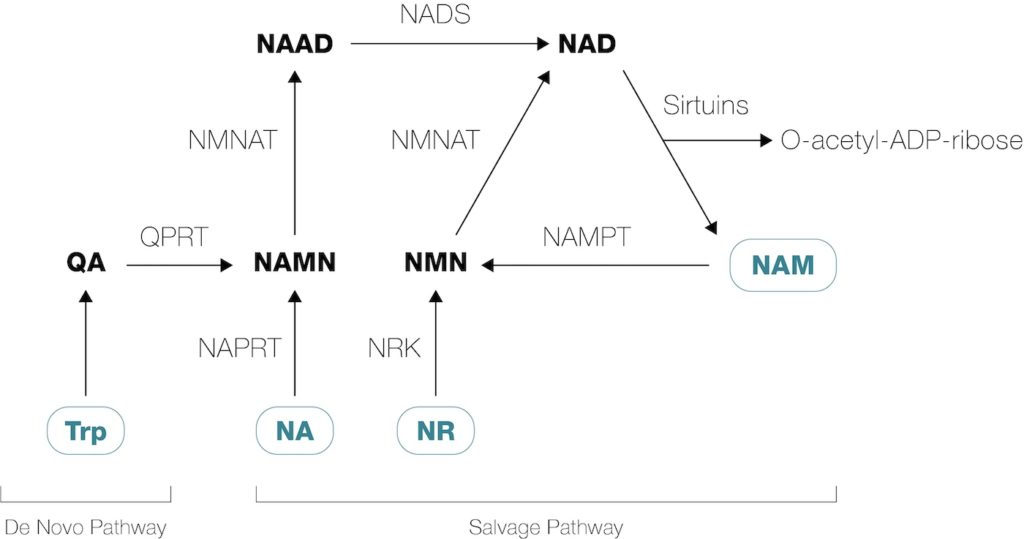 NMN and NR become NAD+ in cells