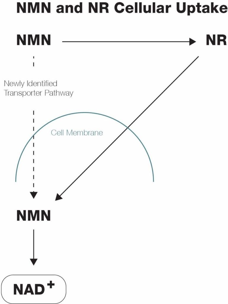 NMN and NR cellular uptake