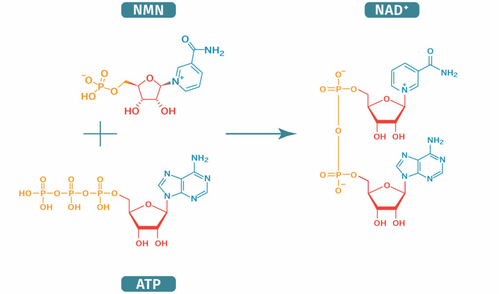 NMN combines with ATP to produce NAD+