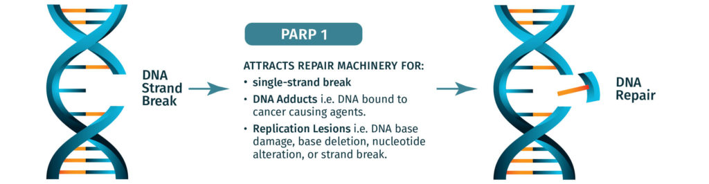 PARP1 attracts DNA machinery to repair DNA