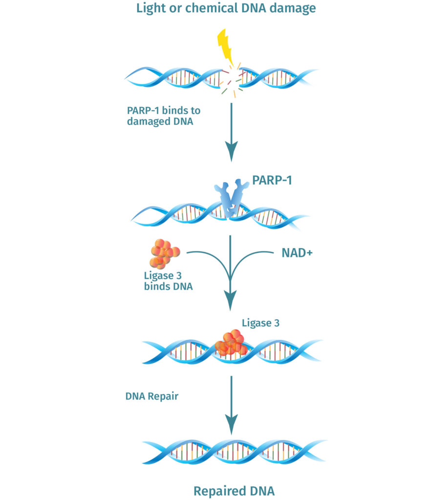 NMN is used to make NAD+, PAP1 uses NAD+