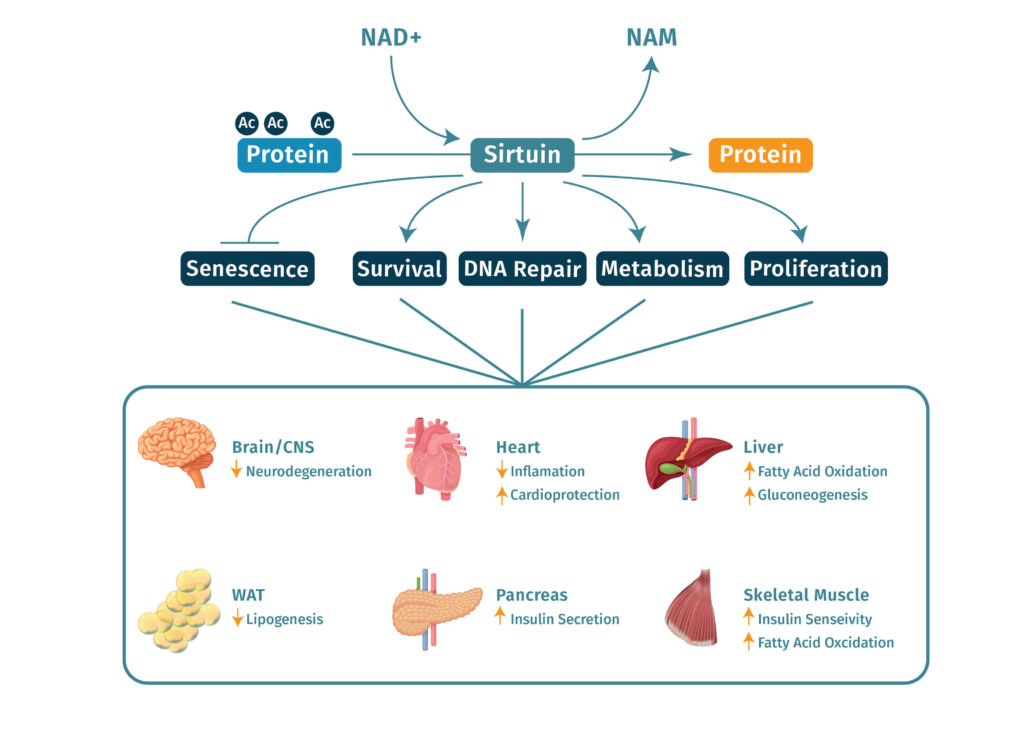 NMN is used to make NAD+, sirtuins use NAD+